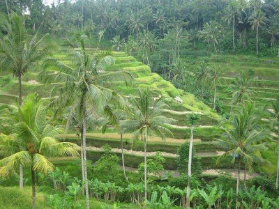 Terraced rice paddy fields Bali, Indonesia