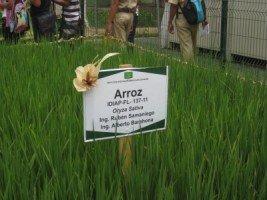 Growing rice at the Azuero Feria