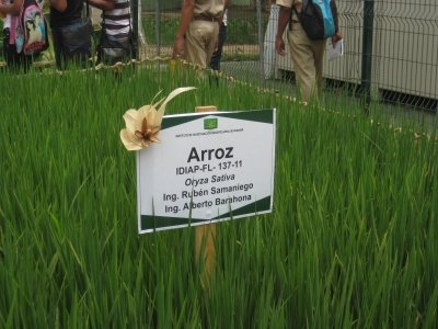 Growing rice at the Azuero Feria